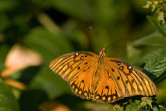 Gulf Fritillary Butterfly sitting on a leaf. A Gulf Fritillary Butterfly sitting on a leaf of a flower on a sunny, warm fall morning Stock Photo