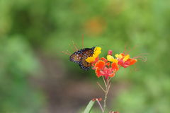 Gulf Fritillary butterfly sitting on a multi-colored flower Stock Image