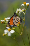 Gulf Fritillary Butterfly On White Flowers Royalty Free Stock Photo