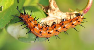Gulf Fritillary Caterpillar stock images