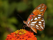 Gulf Fritillary Closeup Stock Images