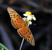 Gulf Fritillary Dorsal View Stock Images