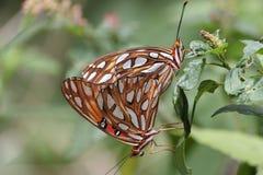 Gulf Fritillary mating Stock Photography