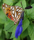 Gulf Fritillary orange butterfly profile close-up. Stock Photo