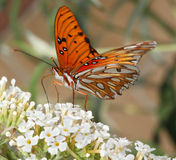 Gulf Fritillary or Passion Butterfly Stock Photography