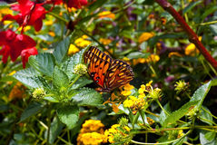 Gulf Fritillary or Passion Butterfly (Agraulis van Royalty Free Stock Images