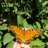 Gulf fritillary royalty free stock images
