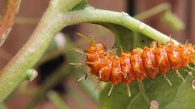 Gulf fritillary or passion butterfly (Agraulis vanillae) caterpillar. Royalty Free Stock Images