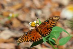 The Gulf fritillary or passion butterfly (Agraulis vanillae) Stock Photography