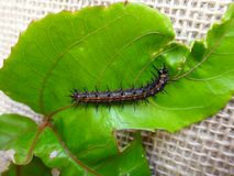 Caterpillar of gulf fritillary on passion fruit leaf with jute background. Gulf fritillary, passion butterfly or dione juno juno. Gulf fritillary caterpillar Stock Photography