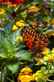 Gulf Fritillary or Passion Butterfy in colorful ga Royalty Free Stock Photo