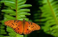 Gulf Fritillary Sunning on a Fern Frond stock images