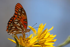 Gulf fritillary on yellow flower. With blue background Royalty Free Stock Photo