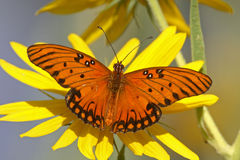 Gulf fritillary on yellow flower. With wings open Royalty Free Stock Photos