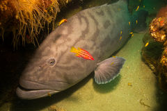 Gulf grouper (Mycteroperca jordani) Stock Photo