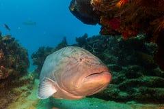 Gulf grouper (Mycteroperca jordani) Royalty Free Stock Photos