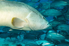 Gulf grouper (Mycteroperca jordani) Stock Photos