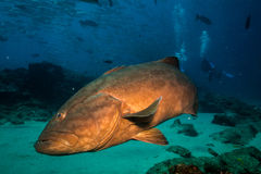 Gulf grouper (Mycteroperca jordani) Royalty Free Stock Images