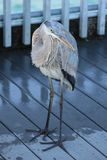 Gulf of Mexico dock blue heron royalty free stock photos