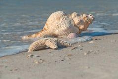 Gulf of Mexico shore, Florida, USA. Sea shell on the bank of the Gulf of Mexico, Florida, USA stock photography