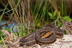 Gulf Salt Marsh Snake (Nerodia clarkii). Gulf Salt Marsh Snake coiled up in habitat stock photos