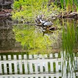 Turtle in Pond White Fence. Gulf Shores, AL USA - 05/11/2019  -  Turtle in Pond White Fence stock photography