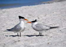 Gulf Tern, Florida. Terns are among the many species of birds to be seen on Florida and Gulf coast beaches Stock Photography