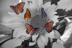GulfFritillaryies on Sunflower. Colored Butterflies on a Black and White Royalty Free Stock Images