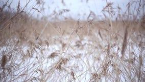 Gulingöron av gräs som svänger i vinden i den soliga fältvintern, snöar tid lager videofilmer