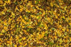 Guling apelsin, gröna stupade sidor på jordningen höstlig baksida Royaltyfri Fotografi