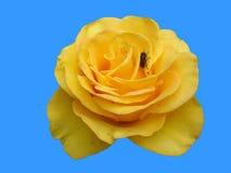 Guling-apelsin rosblomma 'Valencia' med en fluga som isoleras på blått Royaltyfri Foto