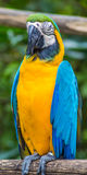 Guling-blått ara i en zoo Royaltyfria Foton