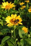Guling blommar (asteraceaen) i ottan Royaltyfri Bild