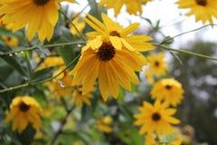 Guling blommar bakgrund Royaltyfria Bilder