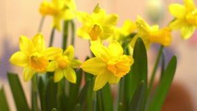 Guling blommar begrepp för symbol för närbildeaster beröm traditionellt