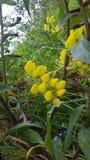 Guling blommar bekant som zapatitosnolla-botitas royaltyfri fotografi