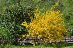Guling blommar busken av forsythia Royaltyfri Foto