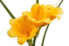 Guling blommar daylilyen Royaltyfri Fotografi