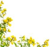 Guling blommar den blom- hörnramen som isoleras fotografering för bildbyråer