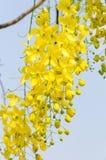 Guling blommar, guld- duschblommor, Cassiafistel Royaltyfri Bild