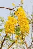 Guling blommar, guld- duschblommor, Cassiafistel Fotografering för Bildbyråer