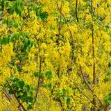 Guling blommar, guld- duschblommor, fyrkantformat Royaltyfria Foton