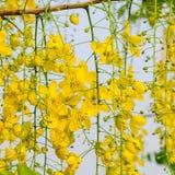 Guling blommar, guld- duschblommor, fyrkantformat Arkivfoto