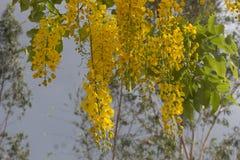 Guling blommar, guld- duschblommor i Thailand fotografering för bildbyråer