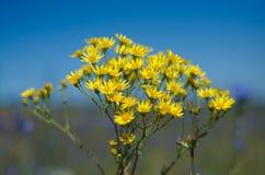 Guling blommar i fält på bakgrund för blå himmel Arkivbild