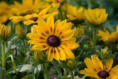 Guling blommar i fältet royaltyfria foton