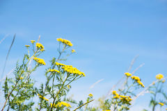 Guling blommar i fältet med gräs och bakgrund för blå himmel Arkivbilder