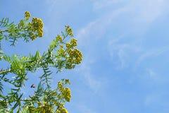 Guling blommar i fältet med gräs och bakgrund för blå himmel Arkivfoto