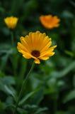 Guling blommar i gräs Arkivbild