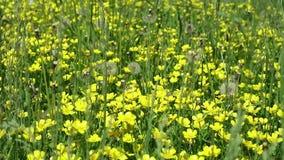 Guling blommar i grönt gräs ovannämnda blommor för vita fjärilar arkivfilmer